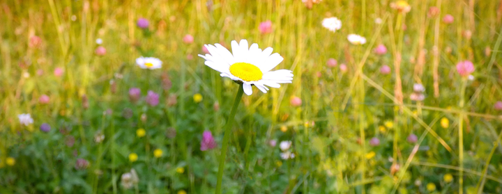Daisy_by_Shell-Fischer.png