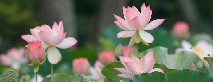 Lotus by Jon – Blog.jpg