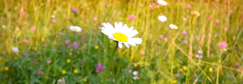 Meadow_Daisy_by_Shell-Fischer.png