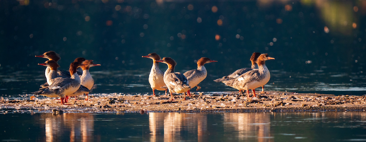 Mergansers_by_Jonathan-Foust_2019.png