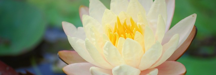 White_yellow_peach_lotus–blog.jpg