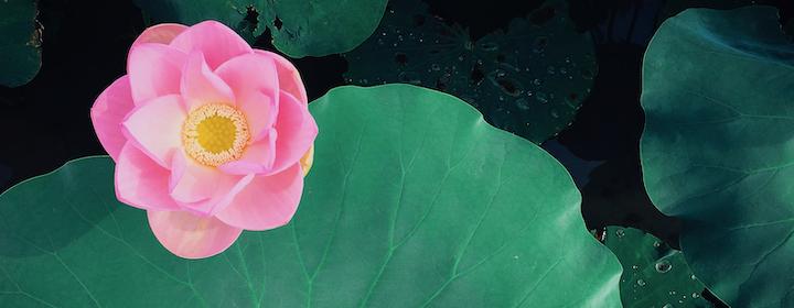 kumiko-shimizu-Pink_Lotus-unsplash.png