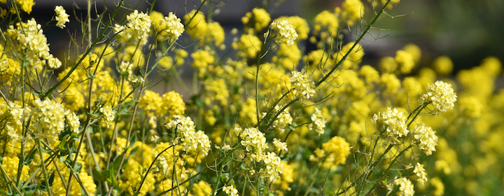 vincent-keiman-Mustard_flowers-unsplash.png